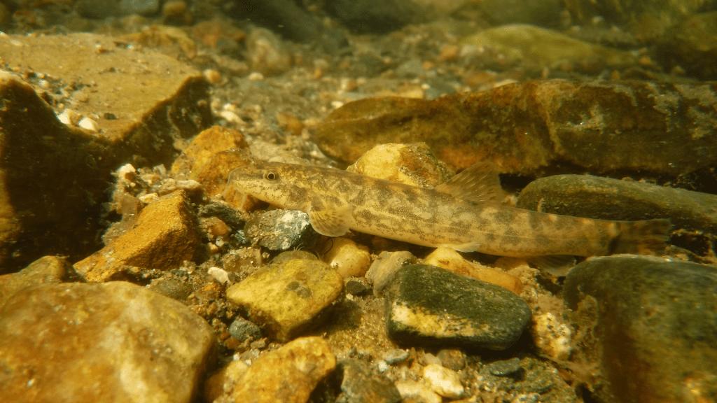 Deosai Fishes in Sheosar Lake - RozefsMarkting.com
