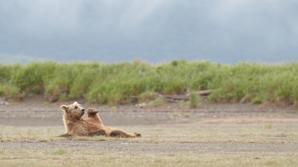 Deosai National Park Wild Life Brown Bear - Rozefstourism.com